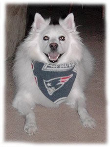 My dog Niko wearing a New England Patriots bandana